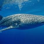 Whale-shark-underwater-1800x2880